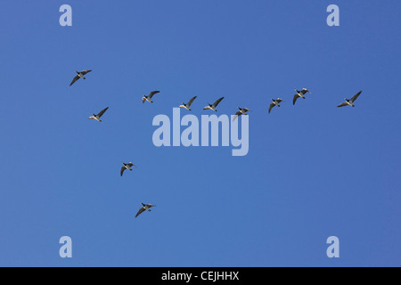 Flock of Barnacle Geese (Branta leucopsis) flying in formation during autumn migration, Belgium - Stock Photo