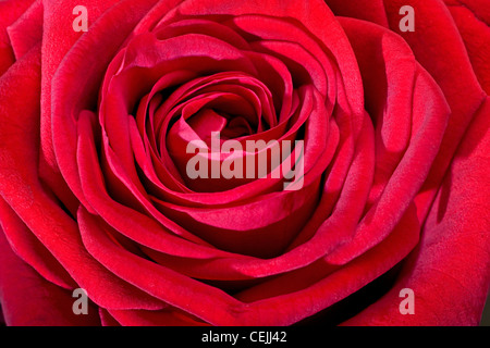 Red rose close-up as romantic flower - Stock Photo