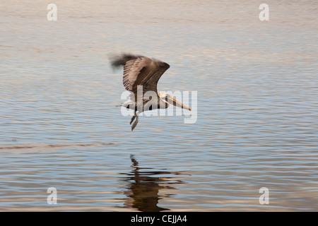 Brown pelican, Pelecanus occidentalis, in flight, Key Largo, Florida, USA - Stock Photo