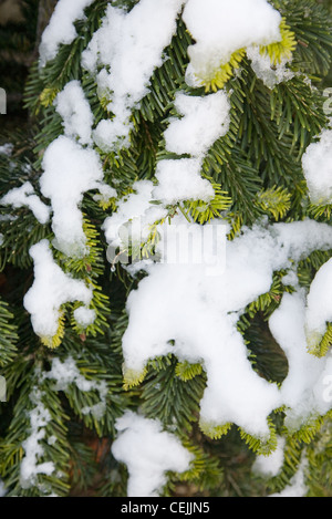 Winter Garden British garden in Allendale, Kent, UK, overlooking Romney Marsh A light snowfall on Abies nordmanniana - Stock Photo
