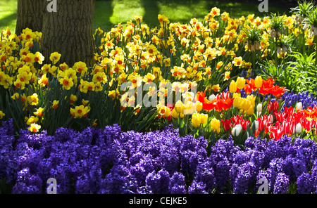 Tulips, hyacinths and daffodils blooming in garden under a tree in spring - Stock Photo