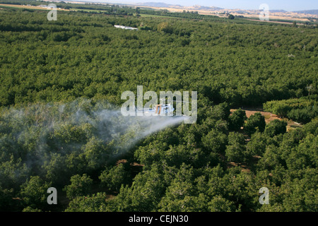 Agriculture - Aerial chemical application by a helicopter over a walnut orchard in late Summer / California, USA. - Stock Photo
