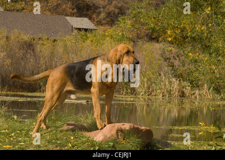 Bloodhound adult with paws on rock-near pond - Stock Photo