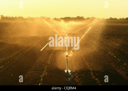 Agriculture - Sprinkler irrigation of an early growth processing tomato field at sunrise / Sacramento Valley, California, - Stock Photo