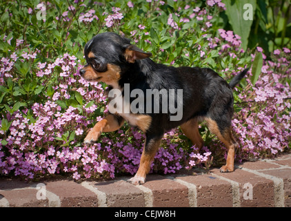 Chihuahua standing on wall with flowers behind-paw up - Stock Photo