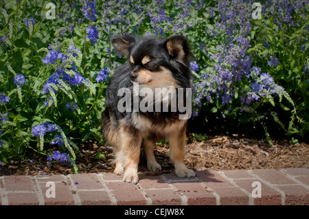 Chihuahua standing on wall with flowers behind - Stock Photo