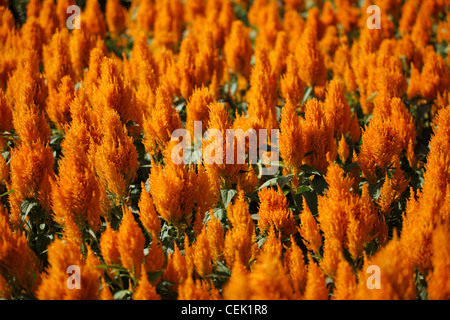 Plumed Cockscomb flower blossom - Stock Photo