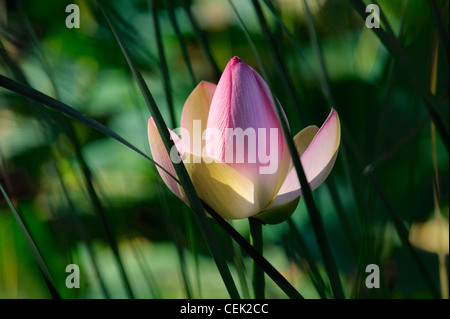 Sacred lotus water lily flower plant blossom and leaves grading to soft focus across lily pond pool surface. Pink - Stock Photo