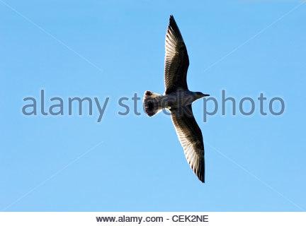 Juvenile herring gull Larus argentatus on the Moray Firth, Scotland, UK - Stock Photo