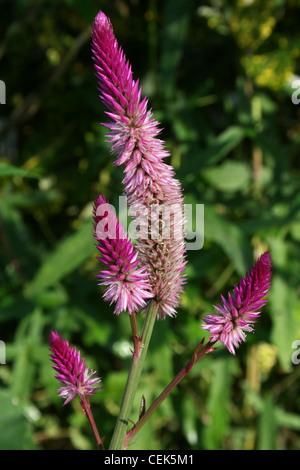 Pink / Purple Garden Flowers 'Plumed Cockscomb' -Celosia argentea, Costa Rica - Stock Photo