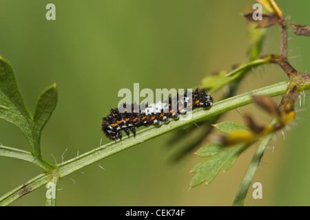 Schwalbenschwanz Raupe, Papilio machaon, Old World swallowtail caterpillar - Stock Photo