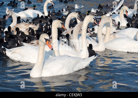 Birds (Swans and Coots) are blocked by ices in Black sea, a rare phenomenon, last time it occured in 1977, Odessa, - Stock Photo
