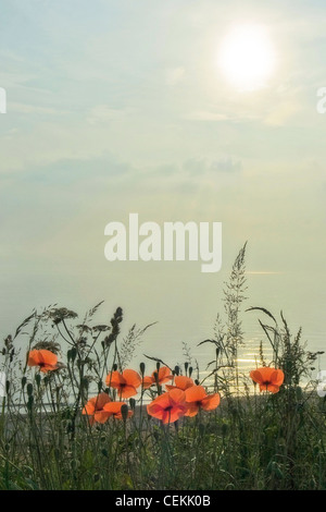 A group of perfect poppies taken in the early morning light with the sea and sun in the background - Stock Photo
