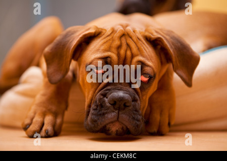 German Boxer - sad, lonely dog with hangover - Stock Photo