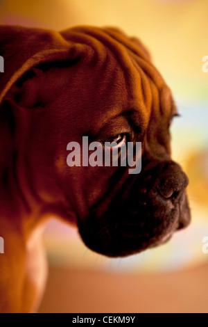 german boxer - sad dog with very sad eyes - Stock Photo