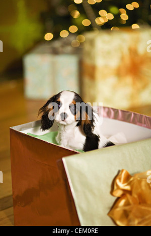 A puppy Cavalier King Charles Spaniel dog in a gift box - Stock Photo