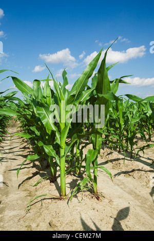 Mid growth grain corn plants at the pre tassel stage, twin row planted, with two rows 7' apart on beds set up on - Stock Photo