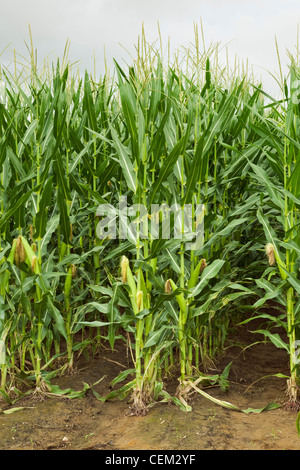 Twin row planted mid growth grain corn plants at the post tassel stage with maturing ears on the stalks, viewed - Stock Photo