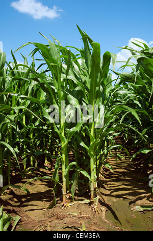 Agriculture - Mid growth grain corn plants at the pre tassel stage viewed from the row end. This crop was twin row - Stock Photo