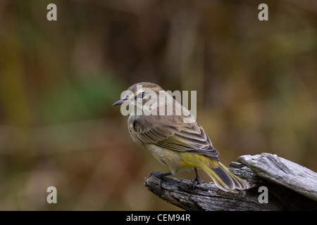 Palm warbler in autumn - Stock Photo