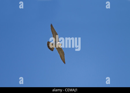 Wanderfalke, Falco peregrinus, peregrine falcon - Stock Photo