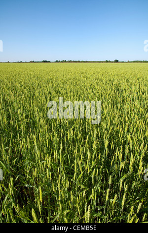 Field of headed out maturing mid growth soft red winter wheat in mid Spring. This crop will mature and be harvested - Stock Photo