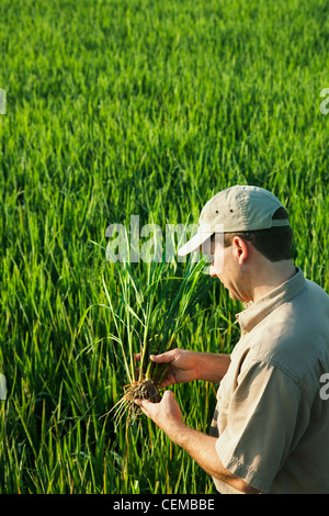 Agriculture - A crop consultant in the field inspects a mid growth rice plant at the early head formation stage - Stock Photo