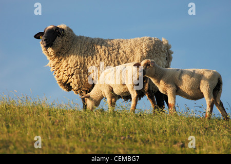 Suffolk sheep on dike near St. Peter-Ording - Stock Photo