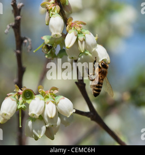 Agriculture - A honey bee pollinates a blueberry blossom / Arkansas, USA. - Stock Photo