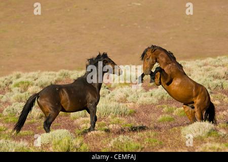 Fighting stallions, Wild horses, Equus ferus - Stock Photo