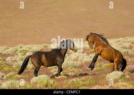 Fighting stallions, Wild horses, Equus ferus, Nevada - Stock Photo