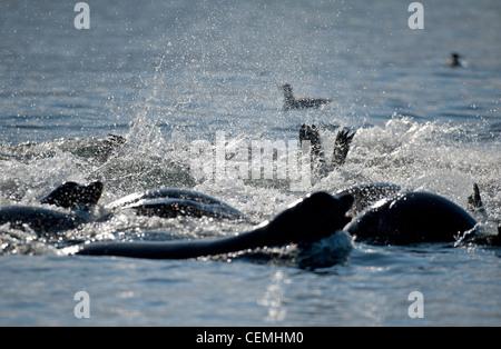 Steller and Califonia Sea Lions at Craig Bay , Nanoose, Vancouver Island. BC.  SCO 8005 - Stock Photo