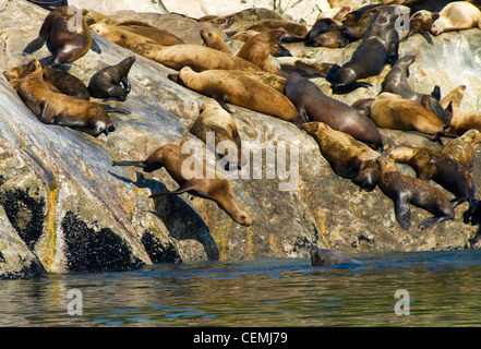 Stellar sea lions frolic on North Marble Island, Glacier Bay National Park - Stock Photo