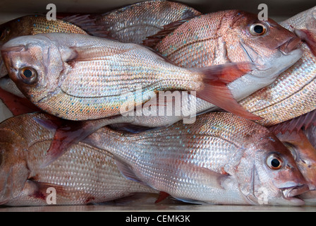 Fish bin full of fresh caught red snapper fish in New Zealand - Stock Photo