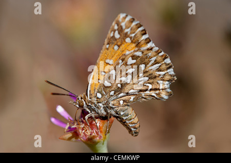 Bộ sưu tập cánh vẩy 4 - Page 2 Large-silver-spotted-copper-trimenia-argyroplaga-indigenous-butterfly-cemkwp