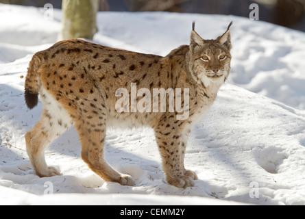 Lynx (Lynx lynx) - Stock Photo