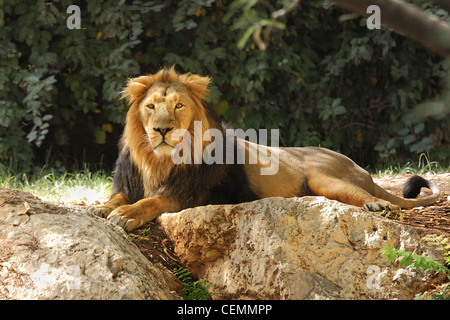 Lion resting in the shade under the trees. - Stock Photo