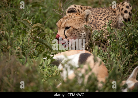 Cheetah with Kill - Stock Photo