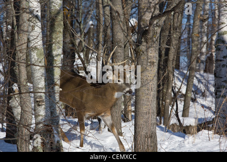 White-tailed buck in winter - Stock Photo