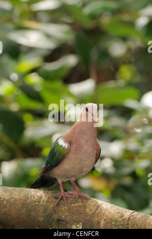 Emerald Dove Chalcophaps indica Photographed in Queensland, Australia - Stock Photo