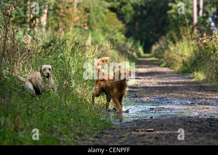 Golden retriever and labrador dogs playing and running with stick through muddy puddle on path in forest, Belgium - Stock Photo