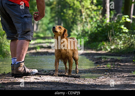 Golden retriever dog with wet fur and man going for a walk on muddy path with puddle in forest, Belgium - Stock Photo