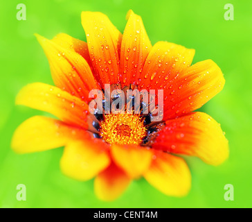 Beautiful fresh red wet flower head, isolated on green natural background, spring life - Stock Photo
