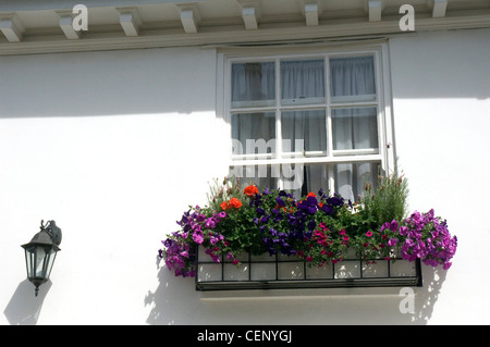 Window box petunias, butterfly lavender, pelargoniums, outside a sash window on a white painted house black metal - Stock Photo