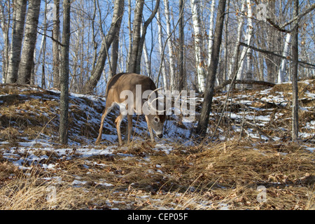 White-tailed deer in winter - Stock Photo