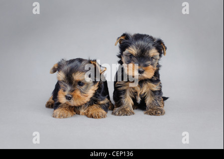 Two Yorkshire terrier Dog puppies portrait - Stock Photo