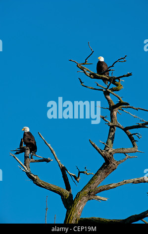 American Bald Eagles  (Haliaeetus leucocephalus) on favourite tree lookout perch  SCO 8027 - Stock Photo