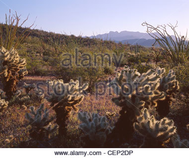 Teddybear cholla and ocotillo, peaks of Ajo Mountains rise in the distance, Organ Pipe Cactus National Monument, - Stock Photo