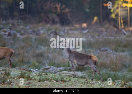 Rothirsch, Cervus elaphus, red deer - Stock Photo