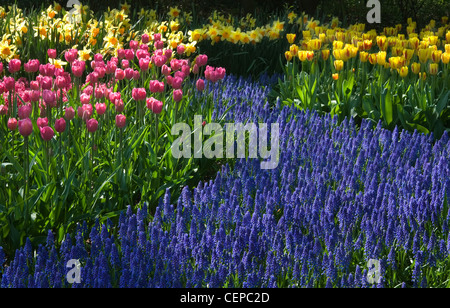 Common grape hyacinth with daffodils and tulips on sunny spring day in april - Stock Photo